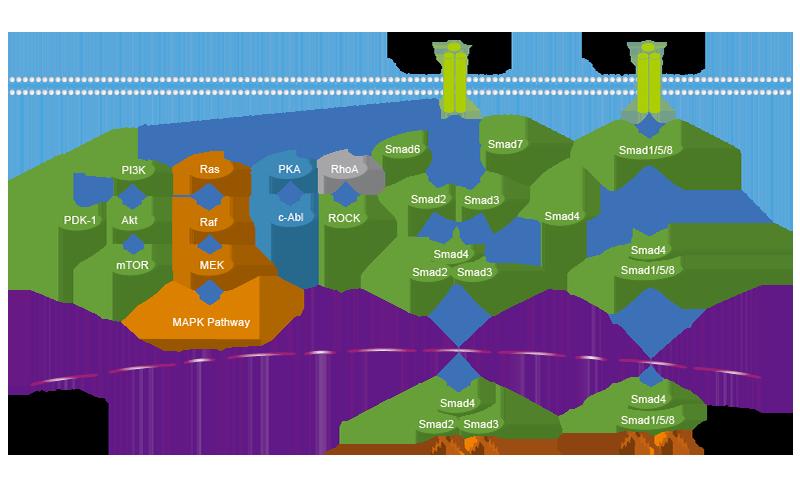 androgen receptors steroids