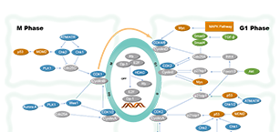 Cell Cycle/DNA Damage Related Signaling Pathway
