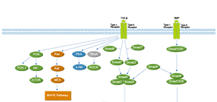 TGF-beta/Smad Related Signaling Pathway